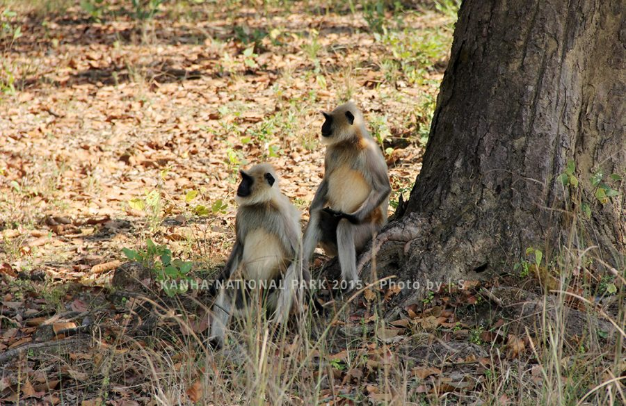 Blog Kanha Sitting pretty